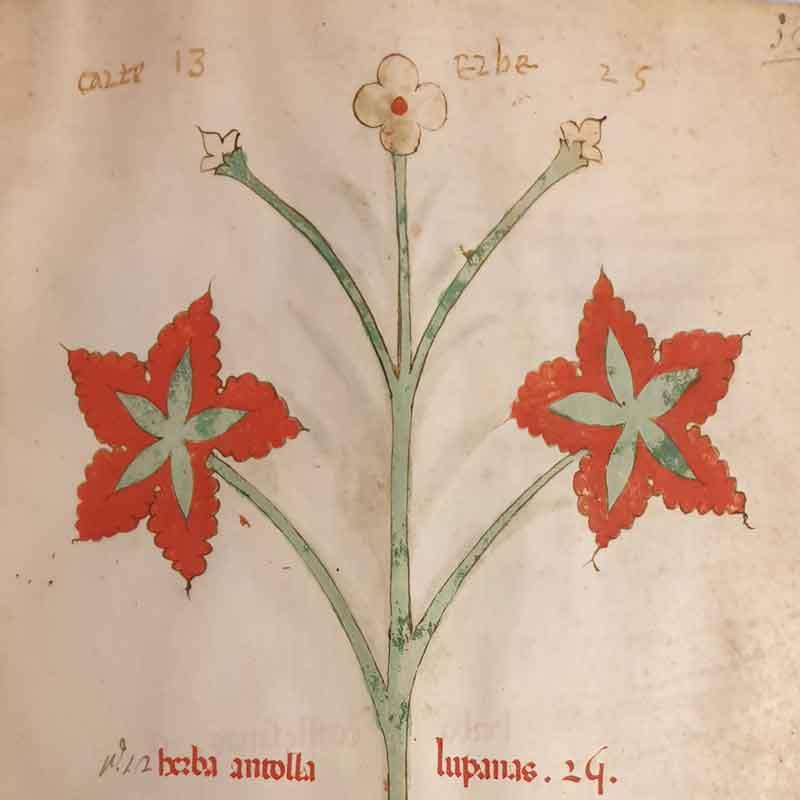 Aldini 211, erbario del secolo XIV, ricco di illustrazioni a piena pagina, studiato ed edito