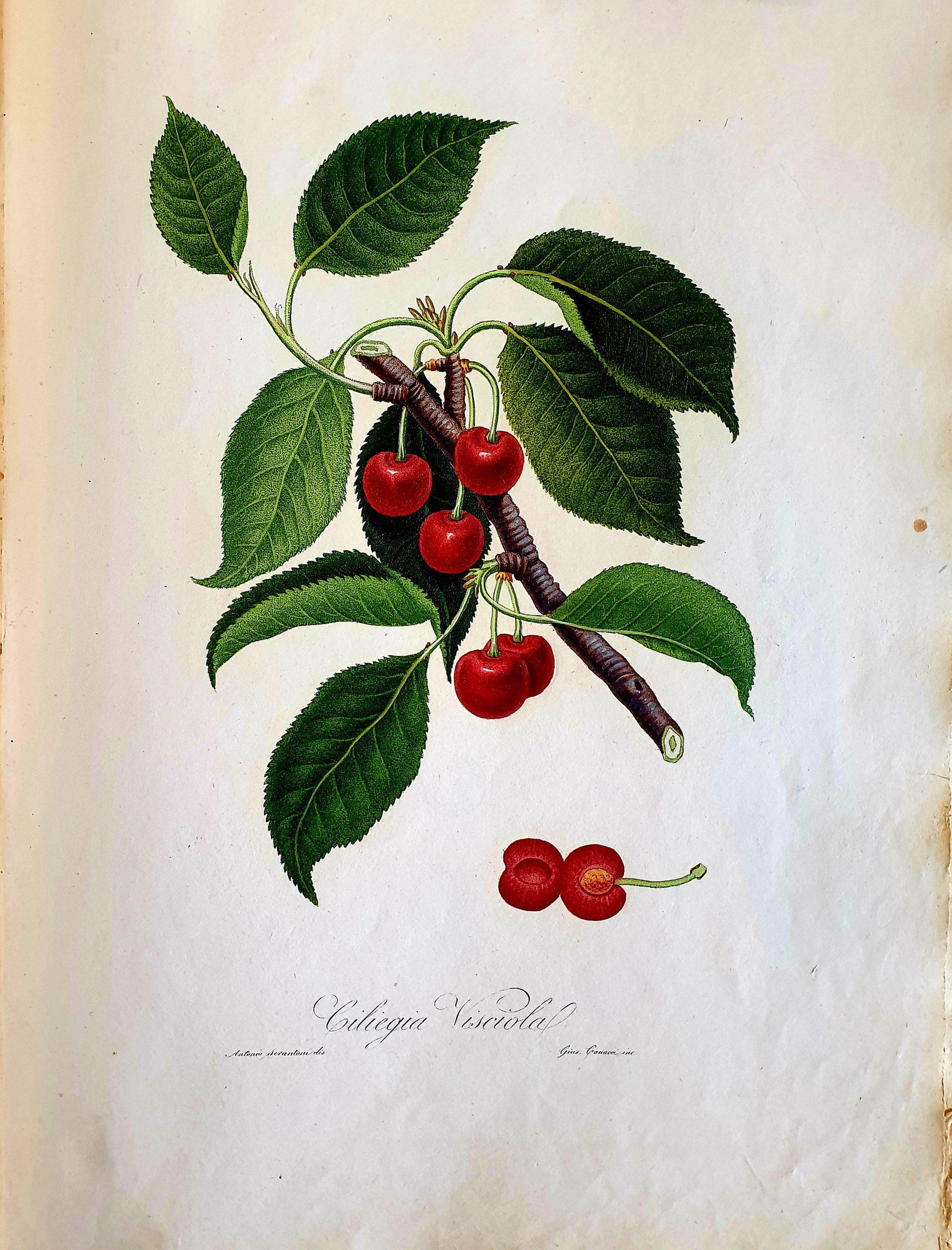 Ciliegia visciola da Giorgio Gallesio, Pomona italiana ossia Trattato degli alberi fruttiferi, Pisa, Capurro, 1817-1839